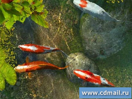 Скриншот Koi Fish 3D Screensaver