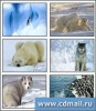 Polar Animals Screensaver